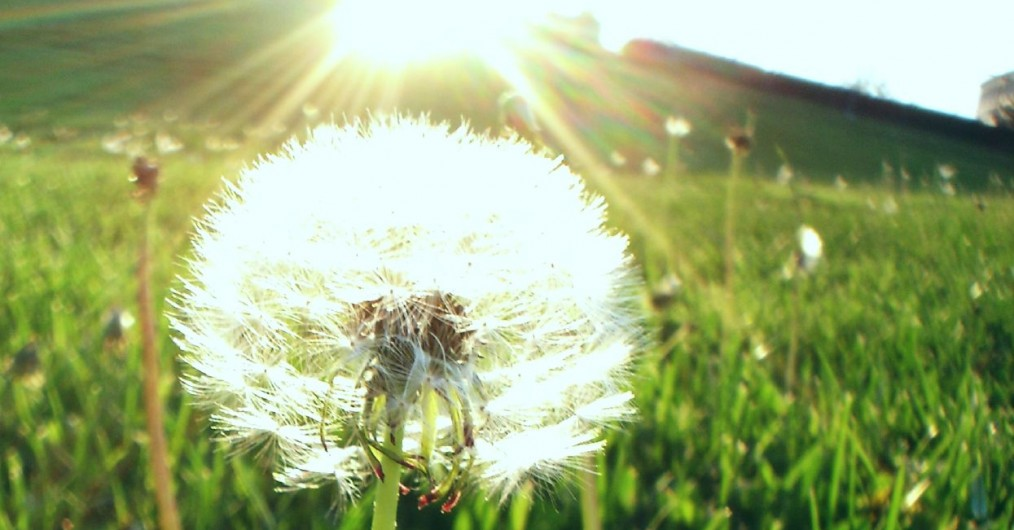 The Dandelion - sowing seeds into eternity